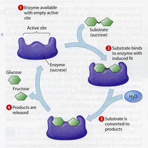chemical enzyme production