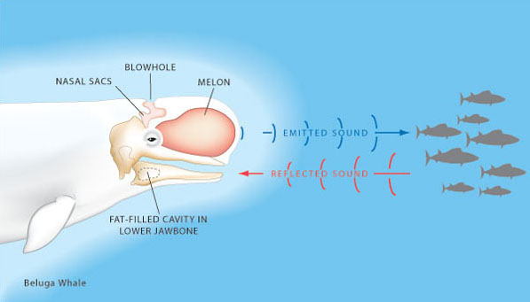 Science News   What is Echolocation?   Tech Hydra